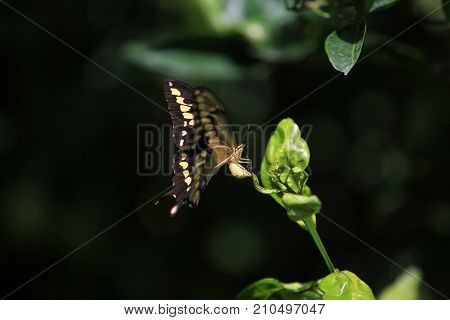 Swallow Tail Butterfly. A Swallowtail butterfly lays eggs. Butterfly Eggs.