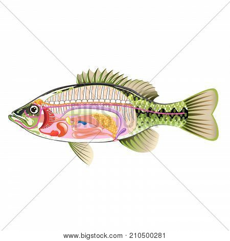 Anatomy bass vector illustration not marked diagram