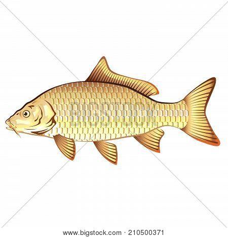 Common carp vector illustration clip-art image eps