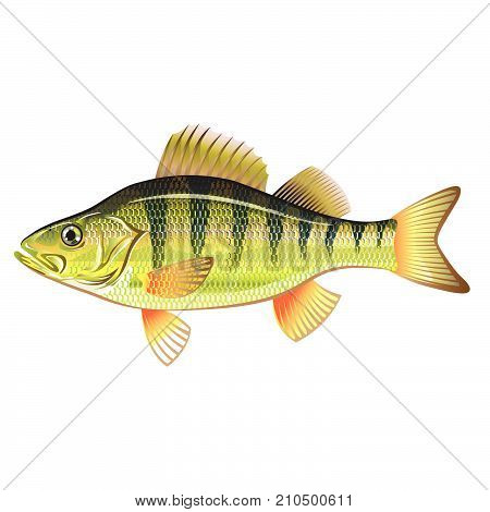 Freshwater yellow perch detailed vector illustration image