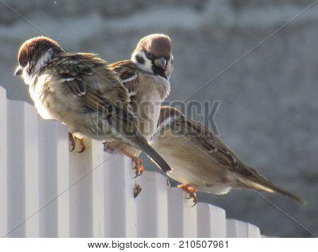 Birds, titmouses in Bashkiria bashkortostan, Russia. Birds sitting on the fence