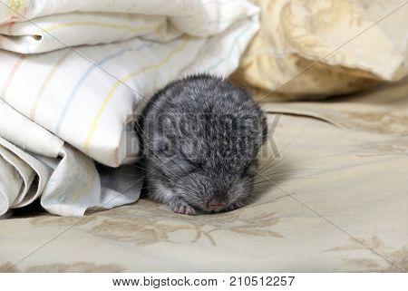 Standard gray baby pet Chinchilla napping on human bed.