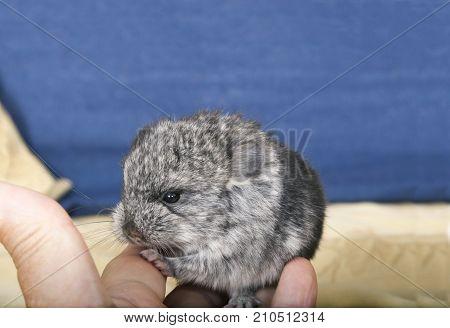 Baby pet Chinchilla interacting with human hand.