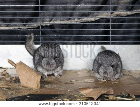 Standard gray baby pet Chinchillas in cage.