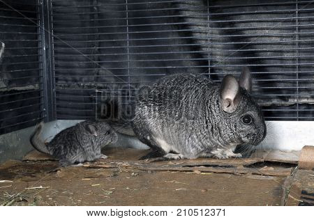Baby pet Chinchilla in cage with mom.
