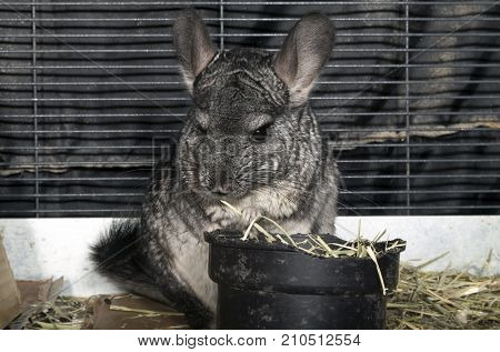 Pet Chinchilla in cage eating Timothy hay.