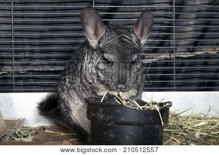 A Pet Chinchilla in a cage eating Timothy hay.