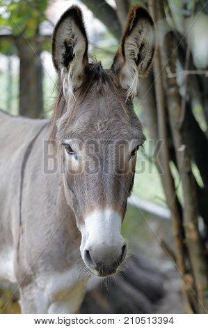 closeup of a donkey (of Ammiata) in the farm fence
