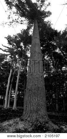 Bw Pine