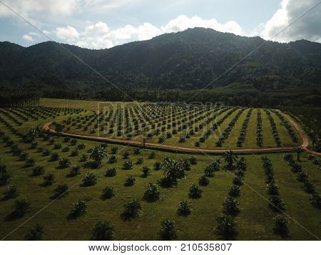 Oil palms. Plantations for palm oil production in Thailand