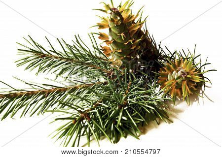 Christmas Decoration - Bunch Of Douglas Fir Tree With Cones Isolated On White Background
