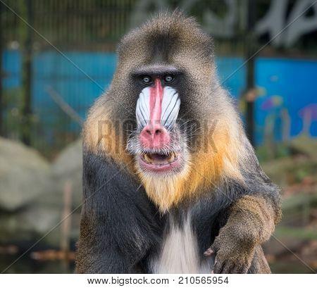Frontal close-up portrait of a mandrill monkey with a colorful face