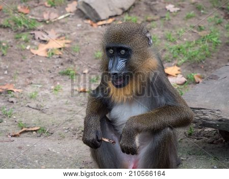 Portrait of a young mandrill monkey eating