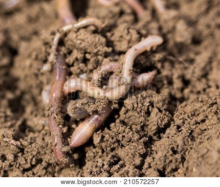 earthworms on soil. macro . In the park in nature