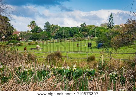 Horses graze peacefully in a paddock on a spring morning with arum lilies in the foreground