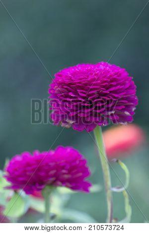 Zinnia. Lilac flower of Zinnia. Flower of Zinnia. Floral background.Common Classic Zinnia. Lilac flower. Purple flower.