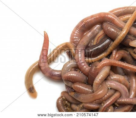 earthworms on a white background. Macro . Photos in the studio