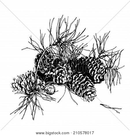 Branch of pine with cone. Hand drawn image