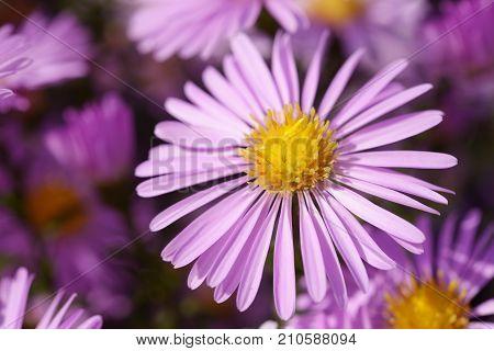 Purple aster flower close up in garden