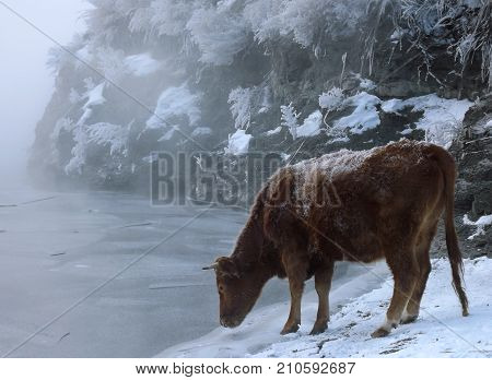 A cow standing near a frozen river and drink water. Frozen rocks on the background. Foggy winter river.