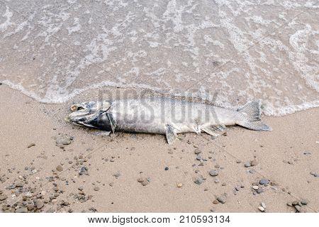 Dead big large salmon sturgeon fish lying on lake Ontario shore after spawning