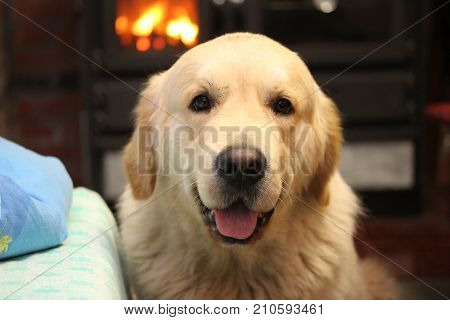 Golden retriever sitting by the fireside. Our pets.