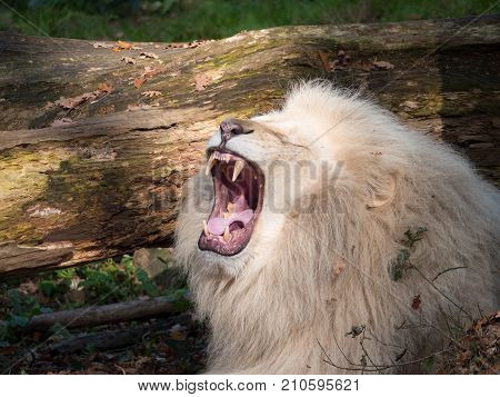 White lion roars and shows his big teeth