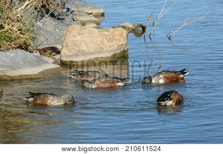 Northern Shoveler duck hen and drakes with some in molting plumage forming a characteristic feeding circle while swimming together