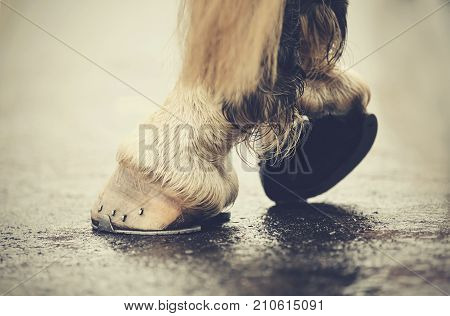The hoofs with horseshoes. Hoofs of the horse standing on asphalt.