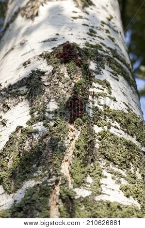 birch bark in the autumn season. among the cracks and irregularities to the bark of the tree, red beetles hid - bugs soldiers