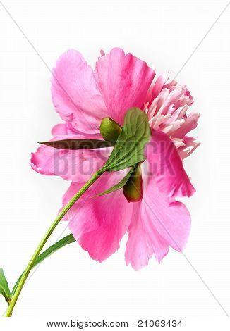 Pink Peony Backside