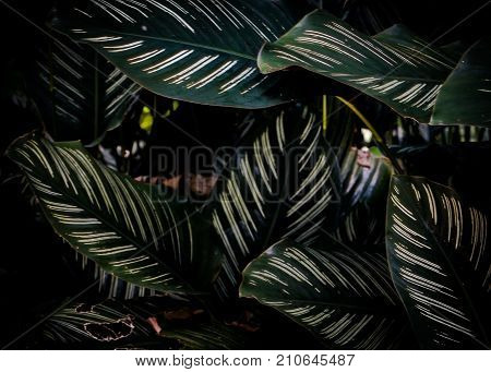 closeup of Calathea ornata or Roseo Lineata in dark tone. Calathea ornata has the large oval-shaped and olive green leaves with the fish-bone pattern of white light lines on them. poster