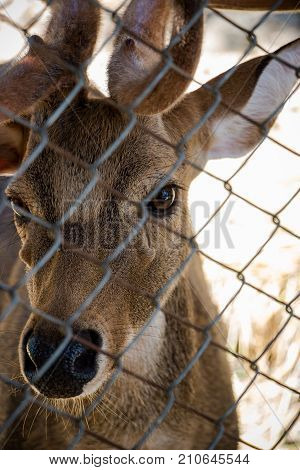 eye contact with the eye of a deer in the cage