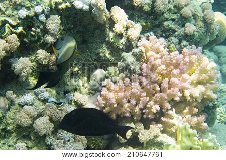 Two fish near the coral. Brown surgeonfish