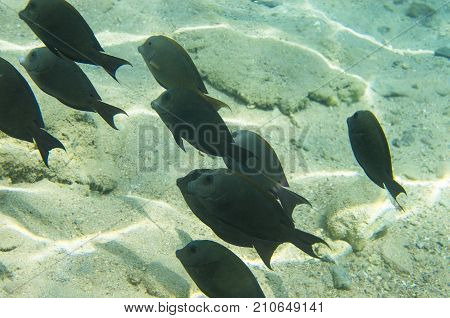 A flock of coral fish (Acanthurus nigrofuscus Brown surgeonfish) against the background of a sandy bottom