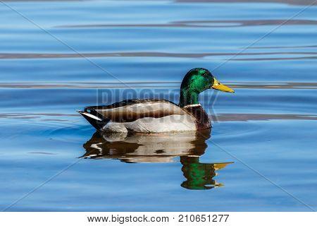 Mallard duck swimming on Roosevelt Lake, Arizona.