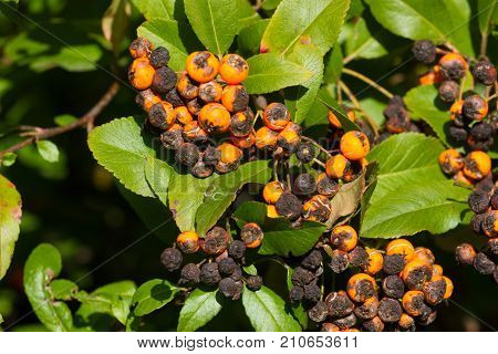 Plant fungus infestation. Pyracantha coccinea scab infection. Scarlet firethorn orange plant.
