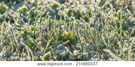 green grass on a meadow covered with snow. panorama winter meadows with grass covered with frost