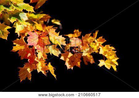 Orange Autumn Leaves Background On Black