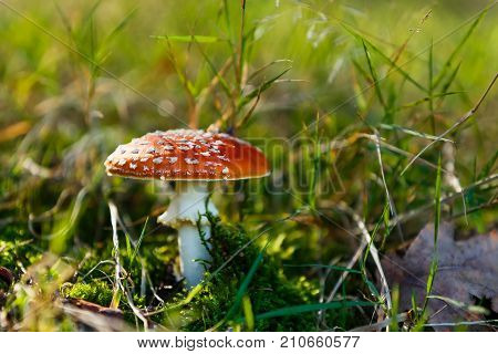 Amanita muscaria commonly known as the fly agaric or fly amanita. The mushroom grows in the forest.