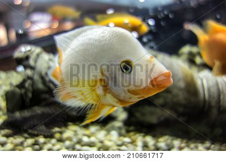 White cichlid fish swimming in the aquarium. Cichlid with very rare coloration and elongated large lips.