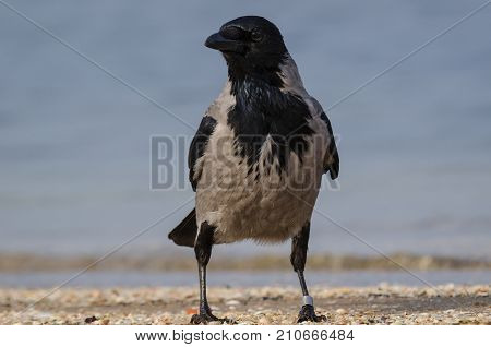 DUN CROW - Wild bird on a sea beach
