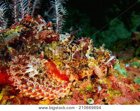 The amazing and mysterious underwater world of the Philippines, Luzon Island, Anilаo, scorpionfish