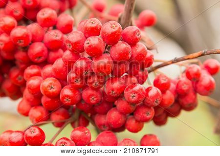 Red Berries Rowan Of Russian Ashberry On A Tree Close-up