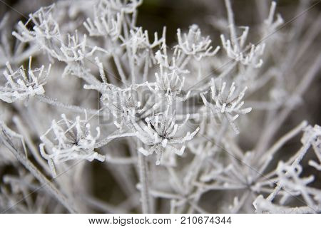 frozen blades of grass, Icy blade of grass covered with ice with a blurred background.