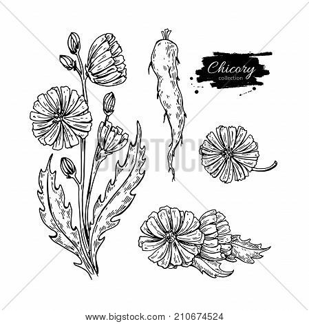 Chicory flower, root and seed vector superfood drawing set. Isolated hand drawn  illustration on white background. Organic healthy food. Great for banner, poster, label
