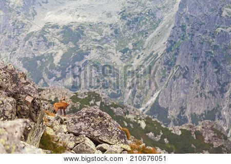 Tatra chamois in wilde environment on the background of mountains. Hight Tatras, Slovakia, Europe