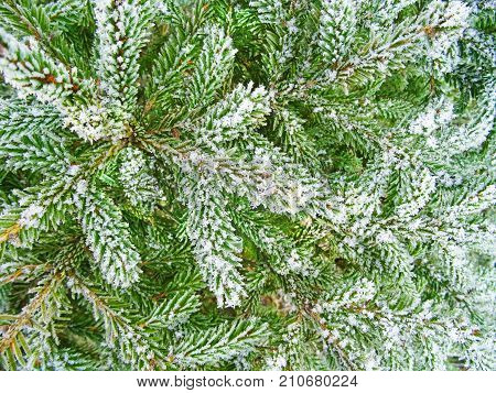Spruce branches on snowfall winter background. Winter background. Holliday.