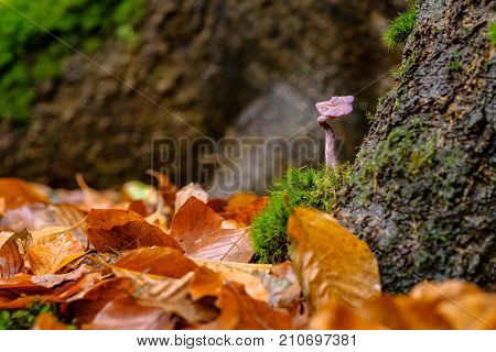 Laccaria amethystina commonly known as the amethyst deceiver is a small brightly colored mushroom that grows in deciduous as well as coniferous forests.