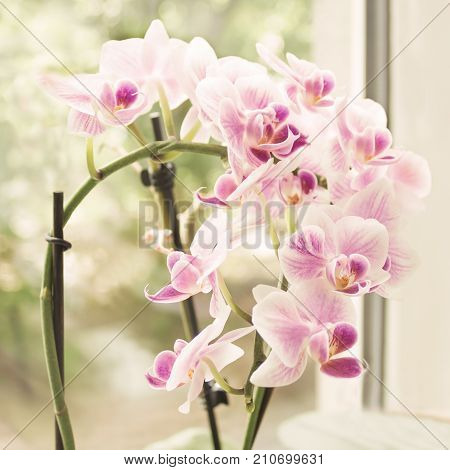 Vibrant tropical purple and white orchid flower vintage square floral background. Orchids on the window. Beautiful home bouquet of Thailand Orchid in the interior. Selective soft focus